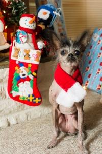 Christmas Dogs 2014 (2 of 7)