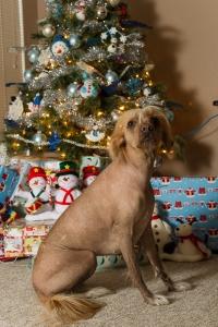 Christmas Dogs 2014 (4 of 7)